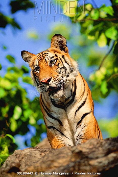 Bengal Tiger (Panthera tigris tigris) looking down, Bandhavgarh National Park, Madhya Pradesh, India  -  Thomas Mangelsen