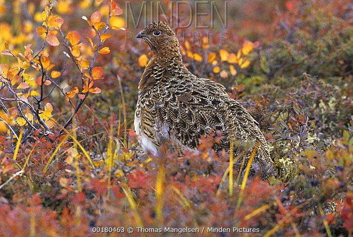 Willow Ptarmigan (Lagopus lagopus) camouflaged on autumn tundra, Denali National Park and Preserve, Alaska  -  Thomas Mangelsen