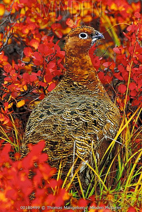 Willow Ptarmigan (Lagopus lagopus) portrait, North America  -  Thomas Mangelsen
