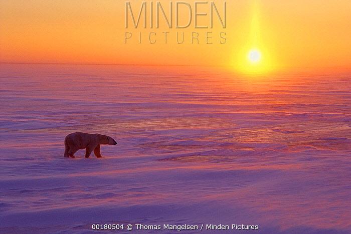 Polar Bear (Ursus maritimus) walking on ice at sunset, Churchill, Manitoba, Canada  -  Thomas Mangelsen