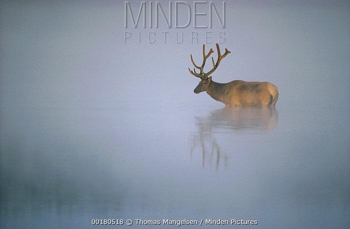 Elk (Cervus elaphus) in misty waters, Yellowstone National Park, Wyoming  -  Thomas Mangelsen