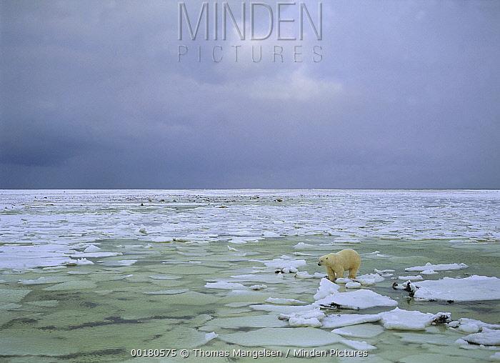 Polar Bear (Ursus maritimus) male on broken ice, Wapusk National Park, Manitoba, Canada  -  Thomas Mangelsen
