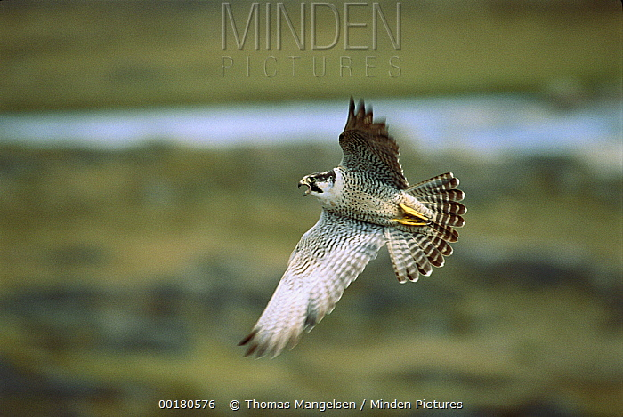 Peregrine Falcon (Falco peregrinus) flying, Wager Bay, Northwest Territories, Canada  -  Thomas Mangelsen