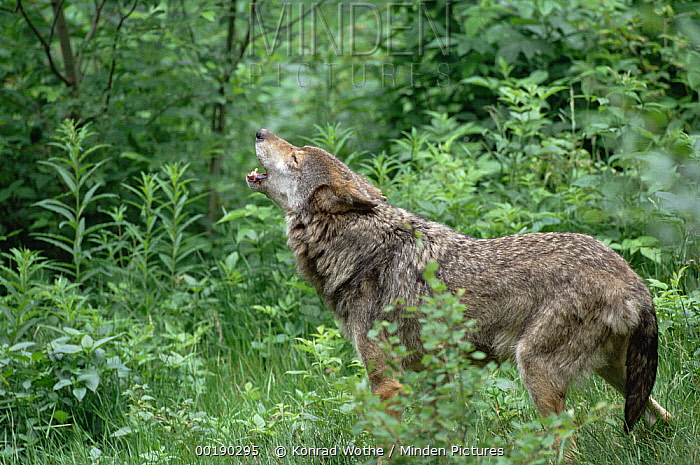 European Wolf (Canis lupus) howling, Germany  -  Konrad Wothe