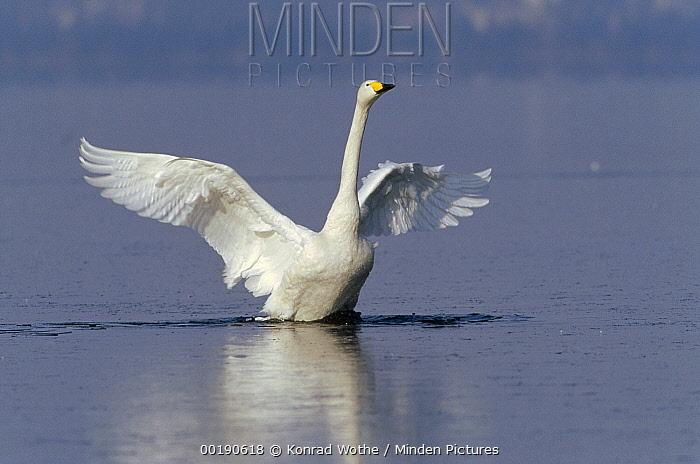 Whooper Swan (Cygnus cygnus) flapping wings, Lake Kussharo-ko, Hokkaido, Japan  -  Konrad Wothe