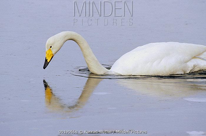 Whooper Swan (Cygnus cygnus) breaking ice, Lake Kussharo-ko, Hokkaido, Japan  -  Konrad Wothe