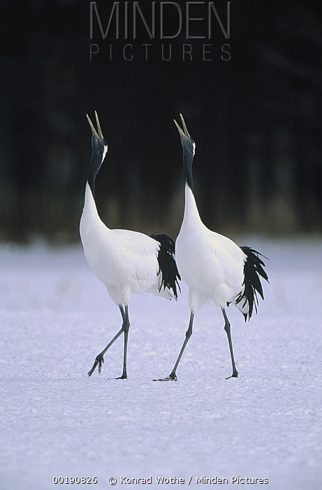 Red-crowned Crane (Grus japonensis) pair calling during courtship dance at their wintering grounds, Hokkaido, Japan