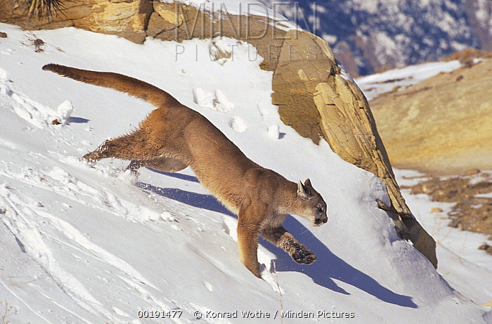 Mountain Lion (Puma concolor) running over snow-covered ground, North America