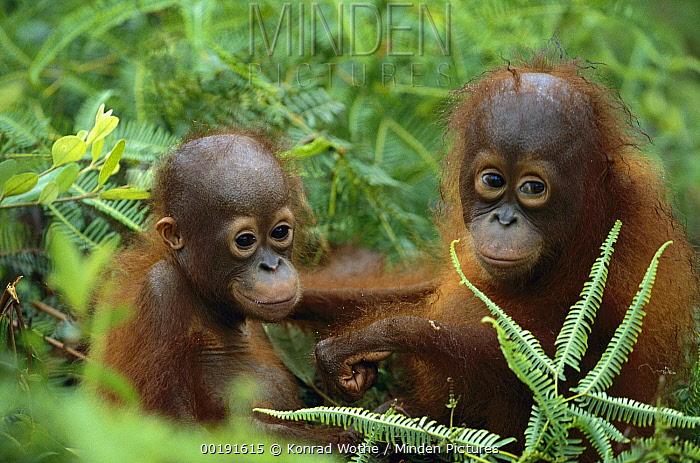 Orangutan (Pongo pygmaeus) orphans embracing, Borneo, Malaysia