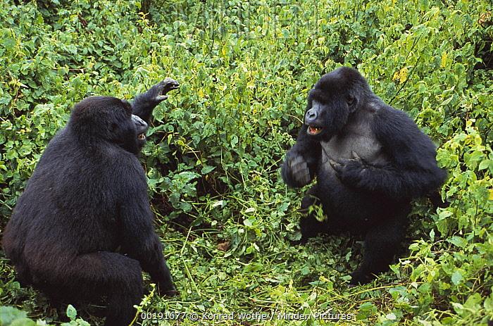 Mountain Gorilla (Gorilla gorilla beringei) males fighting, Virunga National Park, Democratic Republic of the Congo