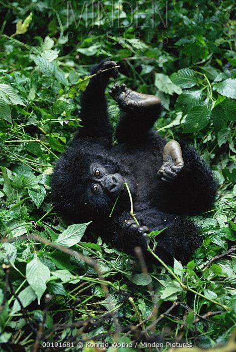 Mountain Gorilla (Gorilla gorilla beringei) baby rolling on forest floor, Virunga National Park, Congo  -  Konrad Wothe