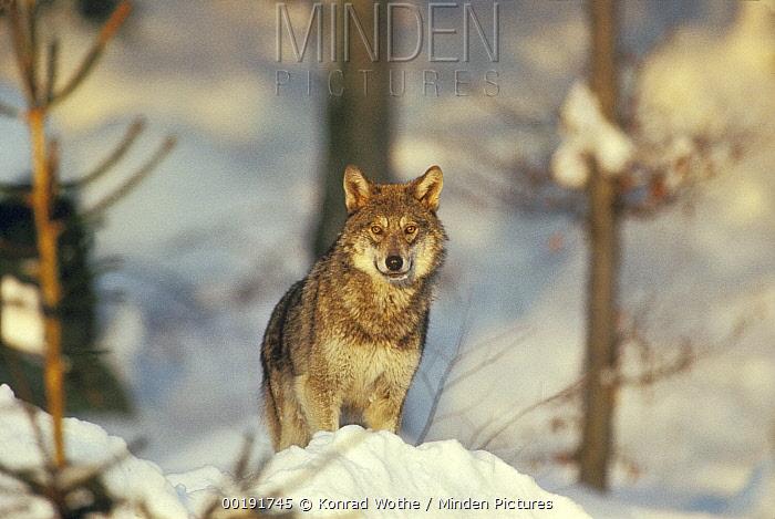 European Wolf (Canis lupus), Europe through Russian Asia  -  Konrad Wothe