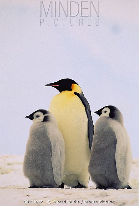 Emperor Penguin (Aptenodytes forsteri) parent with two chicks, Antarctica  -  Konrad Wothe