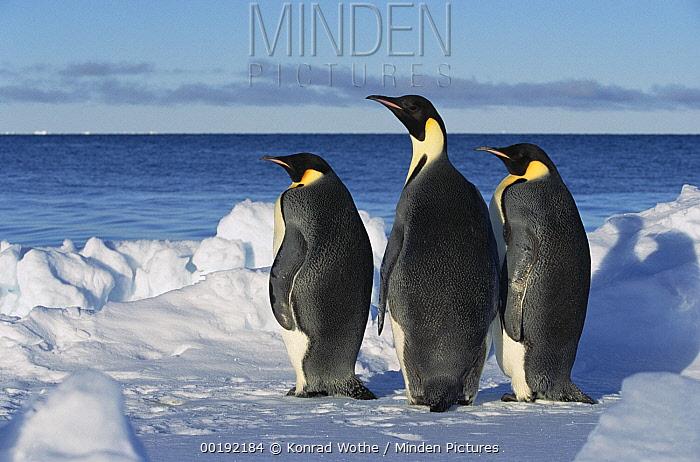 Emperor Penguin (Aptenodytes forsteri) trio on edge of ice, Antarctica  -  Konrad Wothe