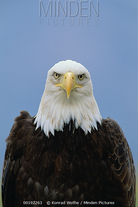 Bald Eagle (Haliaeetus leucocephalus) portrait, North America  -  Konrad Wothe