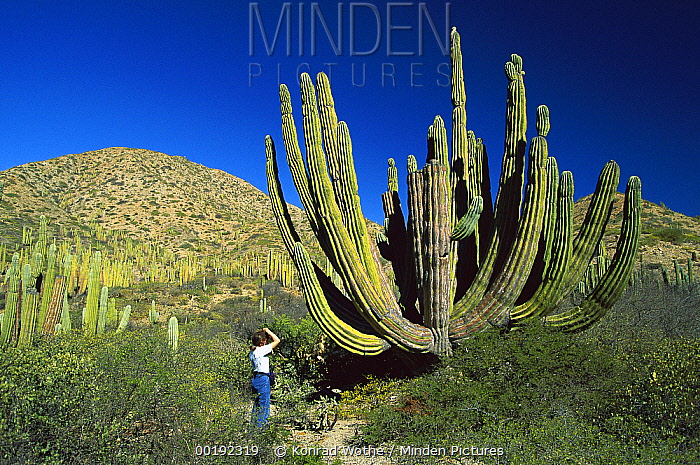 Cardon (Pachycereus pringlei) cactus photographed by tourist, largest cacti in the world and may live over 200 years, Sonoran Desert, Baja California, Mexico  -  Konrad Wothe