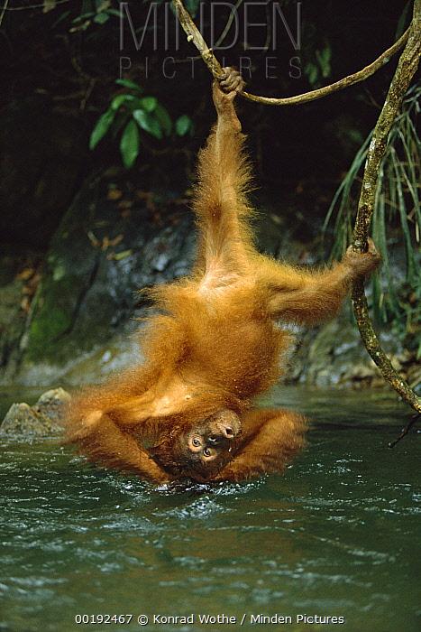 Orangutan (Pongo pygmaeus) bathing in river while hanging upside-down from vine, Gunung Leuser National Park, Sumatra, Indonesia