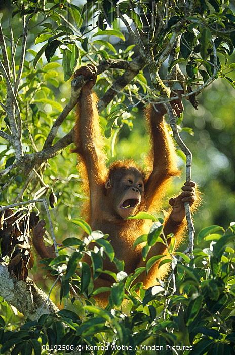 Orangutan (Pongo pygmaeus) juvenile swinging in tree, Tanjung Puting National Park, Borneo  -  Konrad Wothe