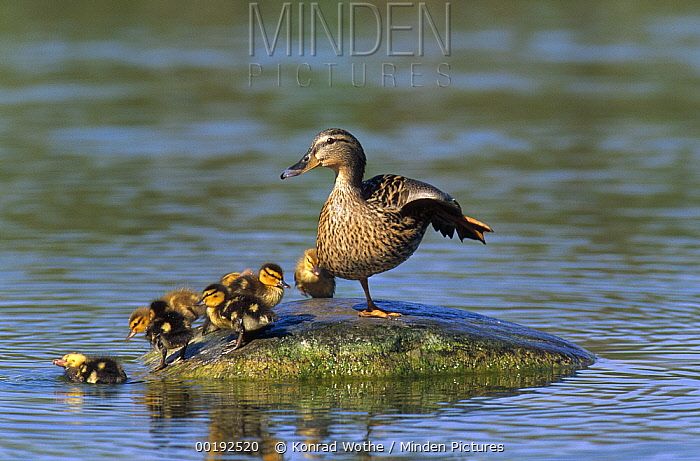 Mallard (Anas platyrhynchos) mother with ducklings standing on stone in pond, Europe