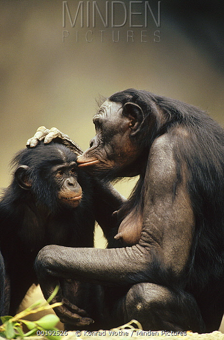 Bonobo (Pan paniscus) mother and baby interacting, native to Africa