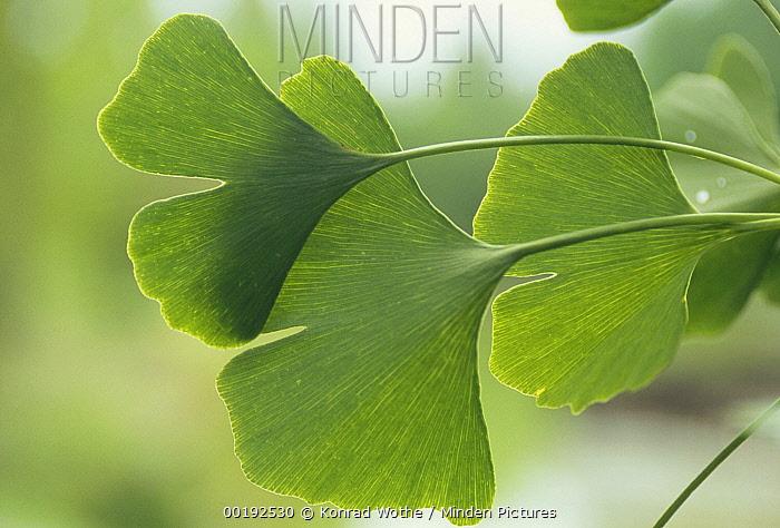 Ginkgo (Ginkgo biloba) close up of leaves, medicinal plant, Germany  -  Konrad Wothe