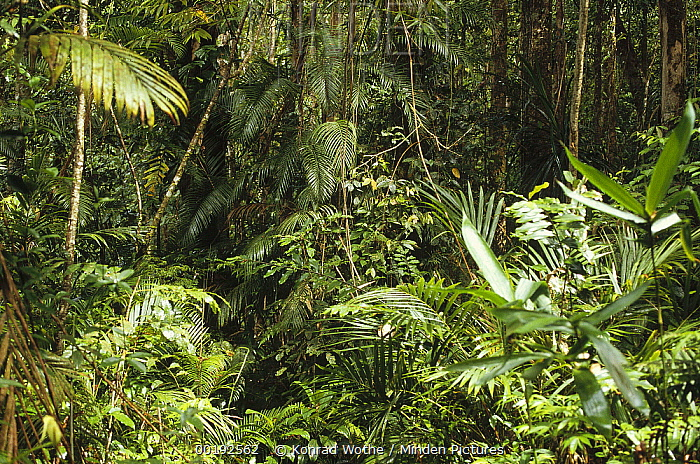 Rainforest interior dominated by palms, Irian Jaya, New Guinea, Indonesia  -  Konrad Wothe