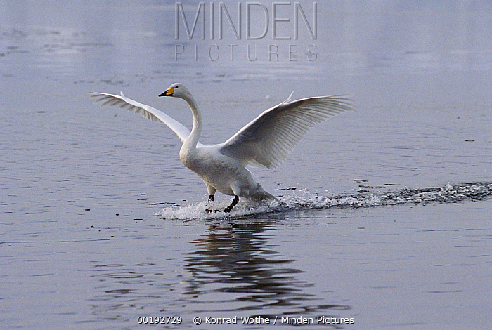 Whooper Swan (Cygnus cygnus) landing on lake, Japan  -  Konrad Wothe