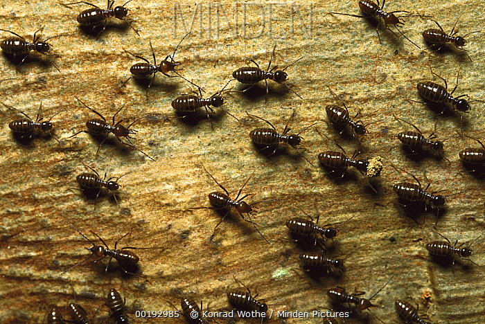 Termite group on wood with one carrying debris, Borneo  -  Konrad Wothe