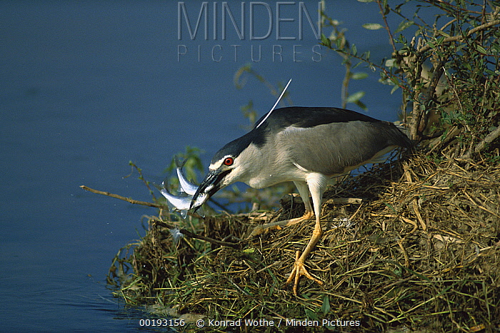 Black-crowned Night Heron (Nycticorax nycticorax) with two fish in its beak, Greece  -  Konrad Wothe