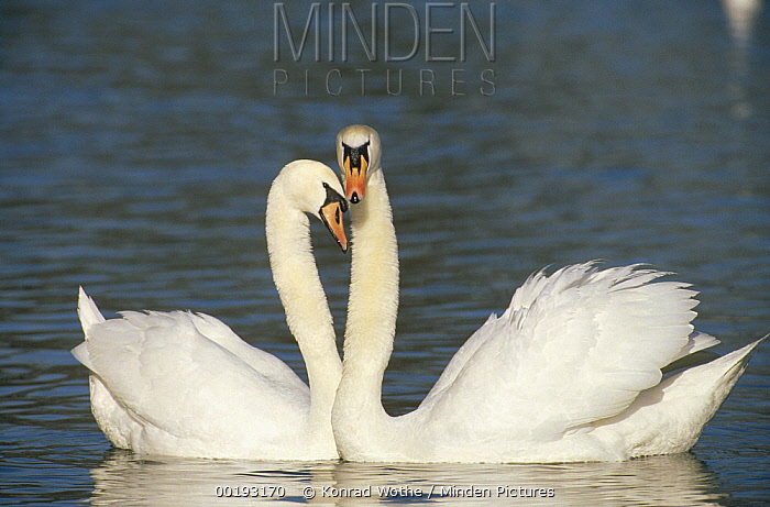 Mute Swan (Cygnus olor) courting pair, Germany  -  Konrad Wothe