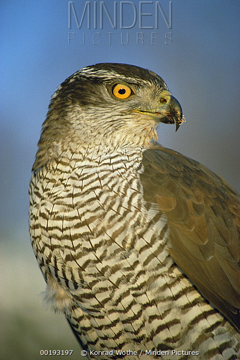 Northern Goshawk (Accipiter gentilis) portrait, Europe  -  Konrad Wothe
