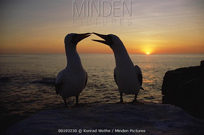 Masked Booby (Sula dactylatra) couple courting at sunset, Galapagos Islands, Ecuador  -  Konrad Wothe