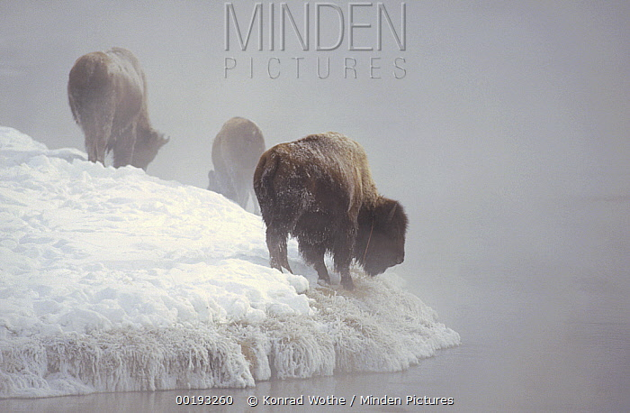 American Bison (Bison bison) group along snowy riverbank, Yellowstone National Park, Wyoming  -  Konrad Wothe