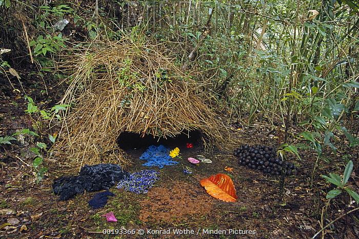Brown Gardener (Amblyornis inornatus) decorated to attract a mate, Arfak Mountains, Irian Jaya, New Guinea, Indonesia  -  Konrad Wothe