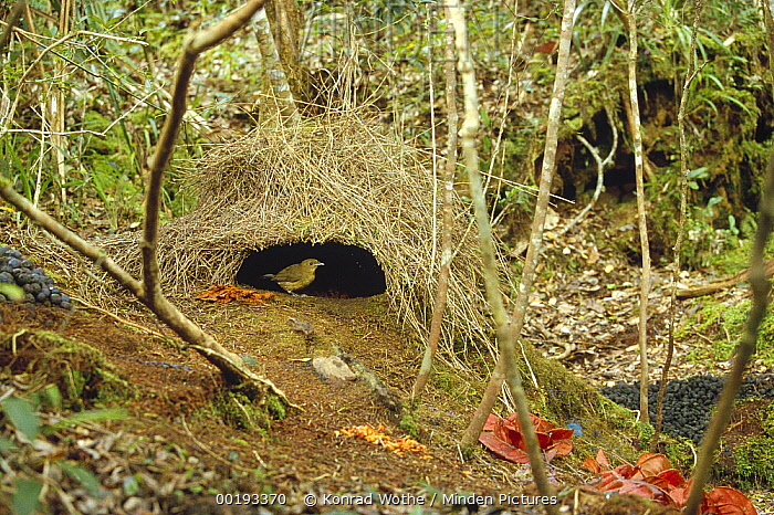 Brown Gardener (Amblyornis inornatus) male and his bower decorated to attract a mate, Arfak Mountains, Irian Jaya, New Guinea, Indonesia  -  Konrad Wothe