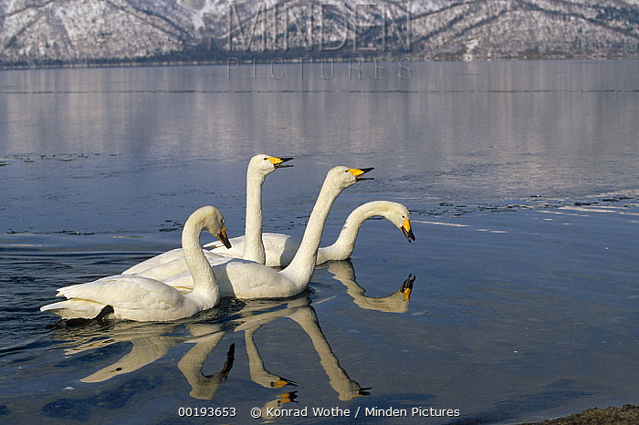 Whooper Swan (Cygnus cygnus) group on icy lake at wintering site, Kussharo-ko, Hokkaido, Japan  -  Konrad Wothe