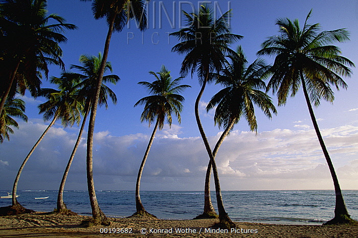 Coconut Palm (Cocos nucifera) trees and beach, Dominican Republic  -  Konrad Wothe