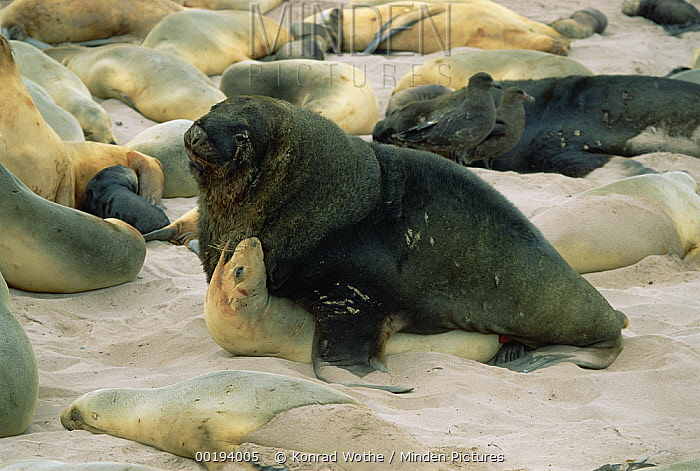 Hooker's Sea Lion (Phocarctos hookeri) couple mating, Enderby Island, Auckland Islands, New Zealand  -  Konrad Wothe