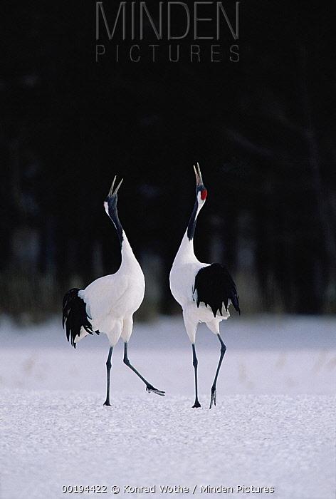 Red-crowned Crane (Grus japonensis) couple in courtship display, Hokkaido, Japan  -  Konrad Wothe