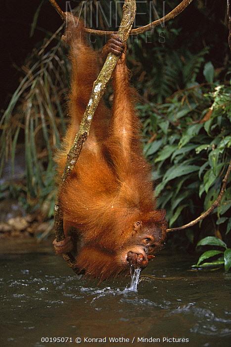 Orangutan (Pongo pygmaeus) drinking from river while hanging upside-down from vine, Gunung Leuser National Park, Sumatra, Indonesia