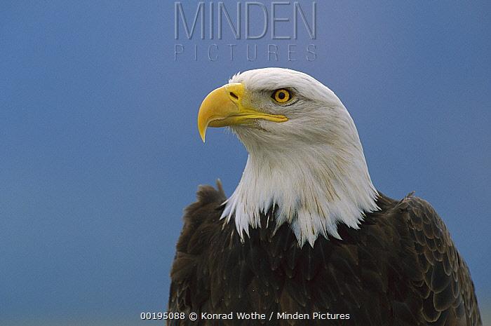 Bald Eagle (Haliaeetus leucocephalus) profile, North America
