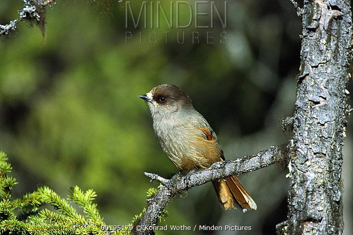 Siberian Jay (Perisoreus infaustus) perching, Sweden  -  Konrad Wothe