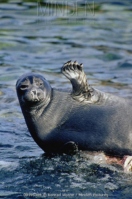 Baikal Seal (Phoca sibirica) resting on rock with flipper raised, Zabaikalsky National Park, Ushkany Islands, Lake Baikal, Russia  -  Konrad Wothe