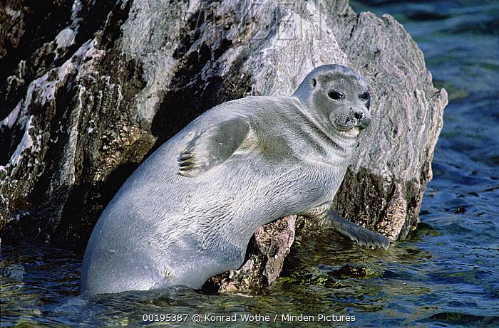 Baikal Seal (Phoca sibirica) resting on rock, Zabaikalsky National Park, Ushkany Islands, Lake Baikal, Russia  -  Konrad Wothe