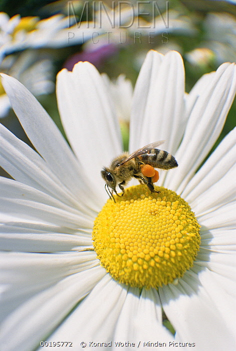 Honey Bee (Apis mellifera) collecting pollen from daisy, note pollen baskets on hind legs, Germany  -  Konrad Wothe