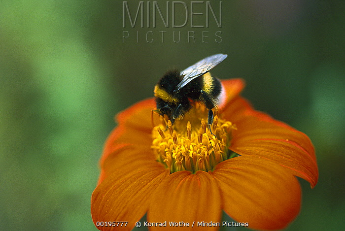 White-tailed Bumblebee (Bombus lucorum) collecting pollen on flower, Germany  -  Konrad Wothe