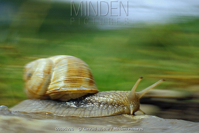 Edible Snail (Helix pomatia) in motion, Germany  -  Konrad Wothe