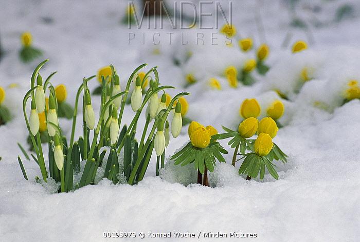 Snowdrop (Galanthus nivalis) flowers blooming in snow, Germany