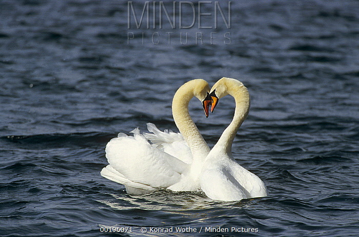 Mute Swan (Cygnus olor) affectionate pair after mating, Germany  -  Konrad Wothe