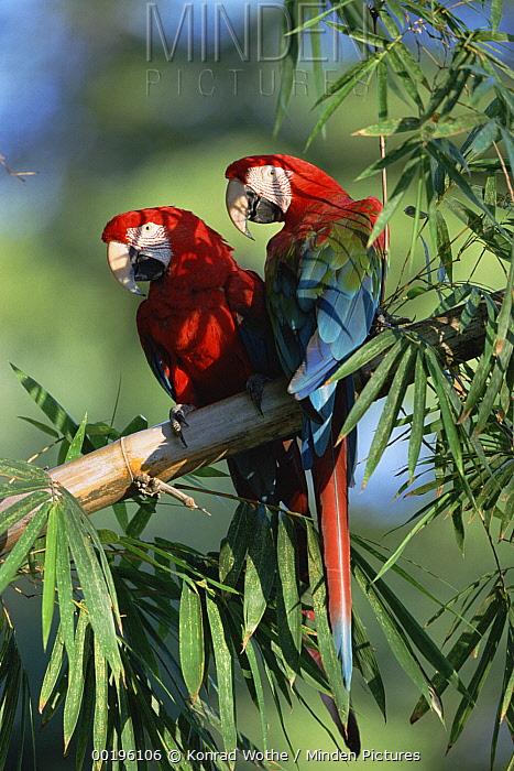 Red and Green Macaw (Ara chloroptera) pair, Pantanal, Brazil  -  Konrad Wothe